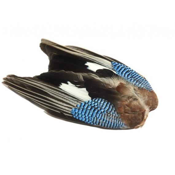 Blue jay wings