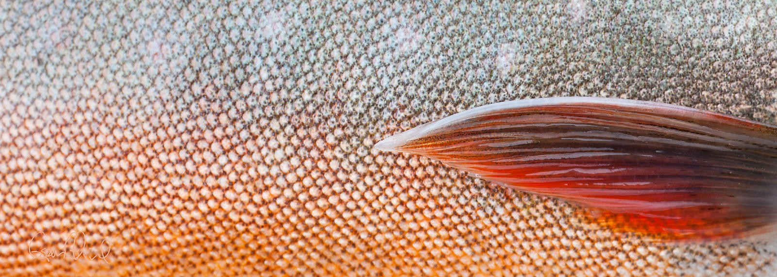 Isfiske røye
